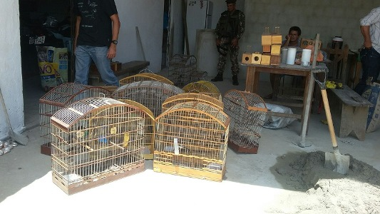 Polícia ambiental fecha ponto de rinha e liberta pássaros