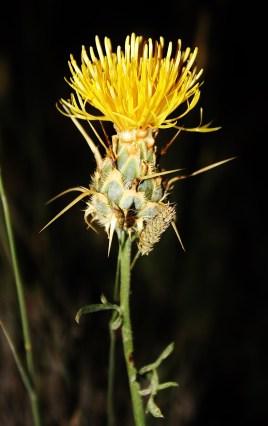 Centaurea ornata