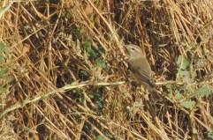 Mosquitero musical (Phylloscopus trochilus)