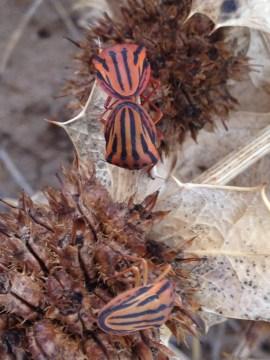 Graphosoma semipunctatum
