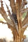 Anacridium aegyptium