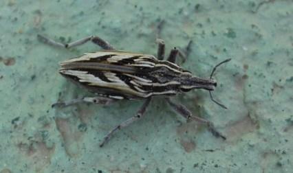 Coniocleonus nigrosuturatus