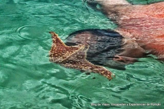 Estrella de Mar Gigante comparada con el tamaño de la cabeza, en Playa Estrella, Bocas del Toro, Panamá