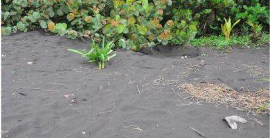 Falso nido de huevos de tortuga