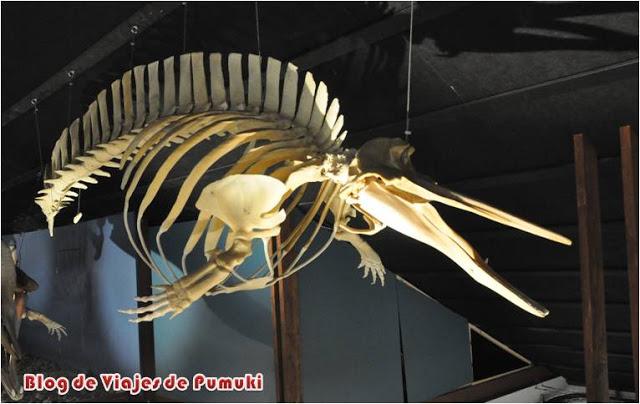 Esqueleto de ballena en el museo de Husavik en Islandia. Ballena asesina o killer whale
