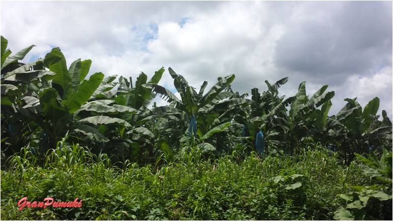 Plantación de plátanos camino a Tortuguero por libre