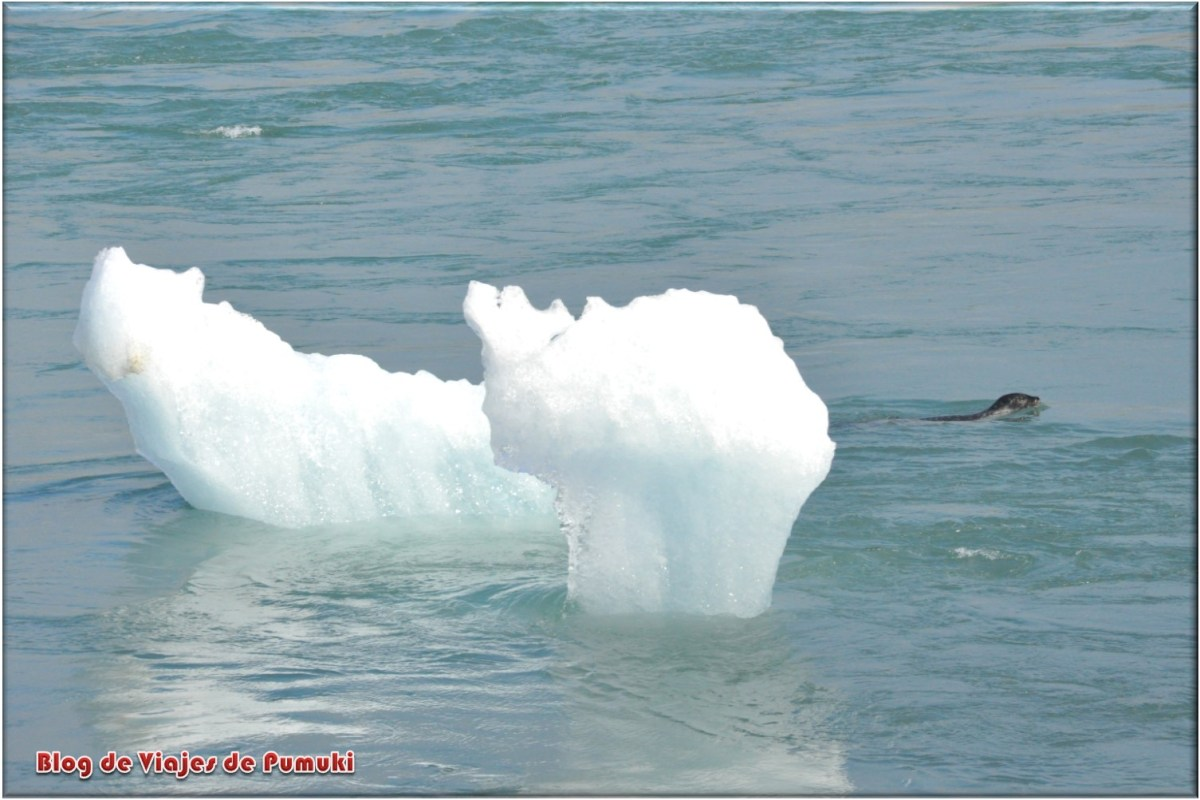 focas en laguna glaciar de Jokulsarlon