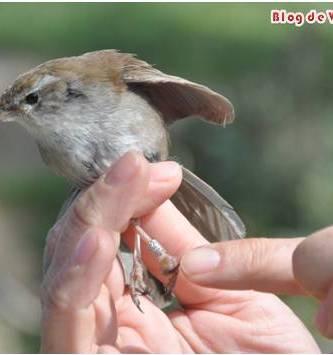 Anillamiento científico de aves en Madrid
