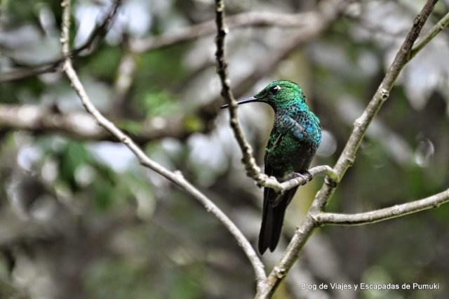 Colibri verde y azul en Monteverde, Costa Rica