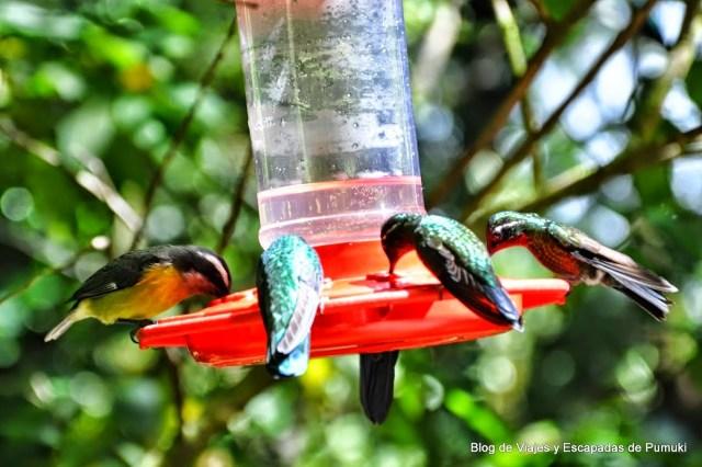 En estos alimentadores se les suministra nectar gratis a los colibries. es posible observar su larga lengua a traves de sus perforaciones.
