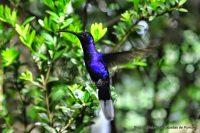 Colibrí Azul en Monteverde, Costa Rica