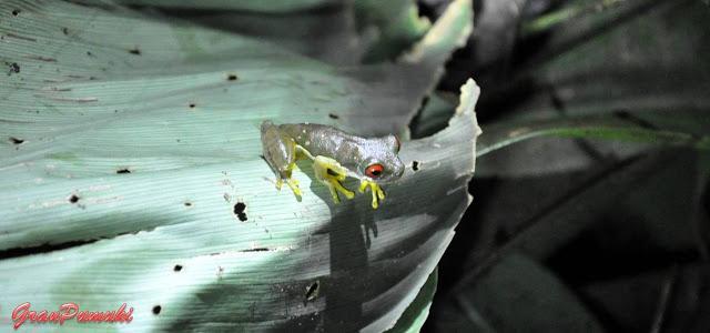 Rana venenosa de ojos rojos en tour nocturno de Monteverde. Tipica de Costa Rica, también llamada allí rana calzonuda