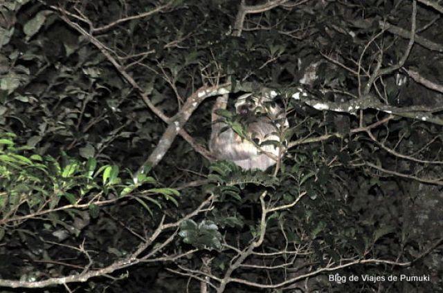 Mono perezoso de dos dedos en tour nocturno de monteverde, Costa Rica