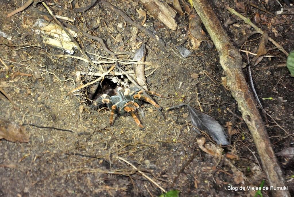 Tarántula en tour nocturno el bosque Nuboso