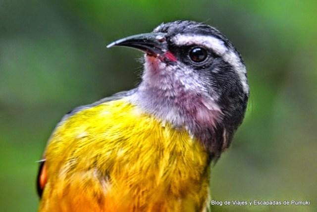 Pequeño pájaro amarillo acompaña a los colibries en Monteverde, Costa Rica
