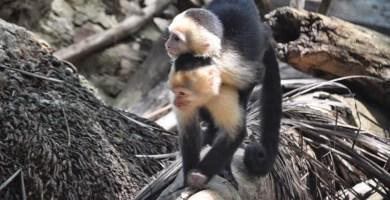 Monos capuchinos en Parque Nacional Manuel Antonio