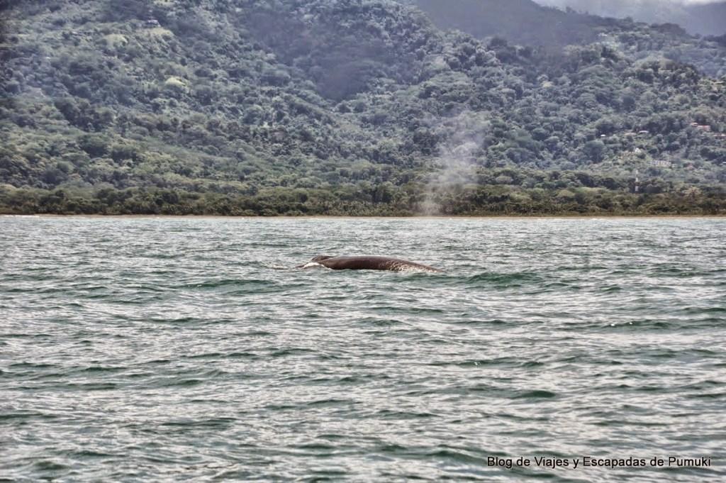 Chorro de agua de la ballena jorobada al respirar