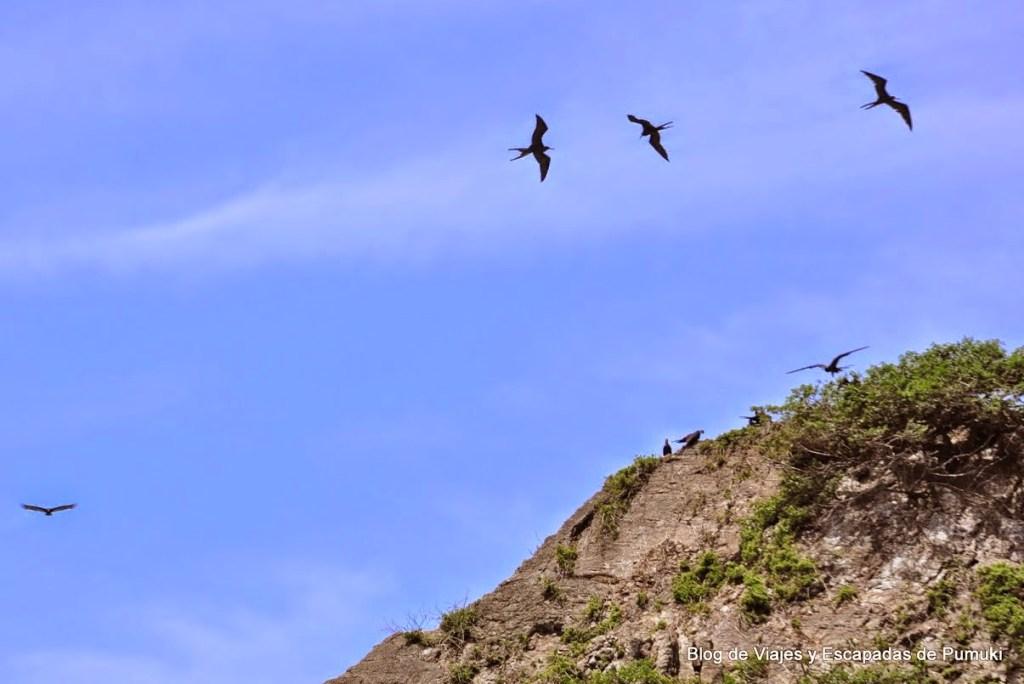 Fraatas sobrevolando isla Ballena. Parque Nacional Marino Ballena