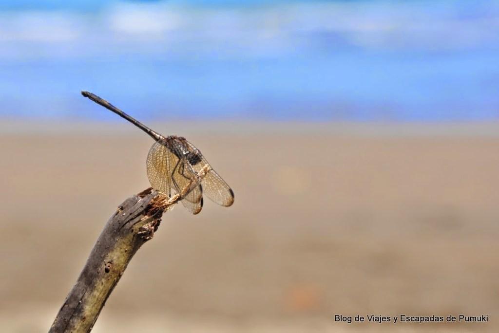 Libélula en playa Ballena, Costa Rica