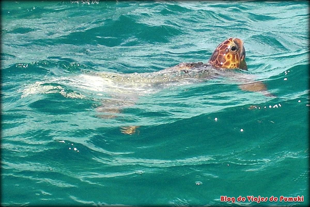 Puedes ver tortugas en libertad  en Sian Ka´an, Riviera Maya