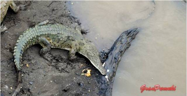 Increíble el tamaño y la cantidad de cocodrilos bajo el puente del río Tárcoles, si bien en contra del espíritu que reina en el país, aquí los turistas echan de comer desde el puente y se les permite. Léelo en Blog de Viajes con niños a Costa Rica