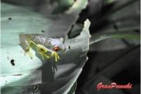 La rana de ojos rojos, símbolo de Costa Rica es muy venenosa. Se puede observar cerca de los rios. Leelo en Blog de Viajes a Costa Rica