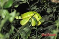 La lora venenosa puede causar la muerte en dos horas. es posible observarla en el tour nocturno por la selva y el Bosqu Nuboso de Monteverde. Mas en blog de Viajes a Costa Rica