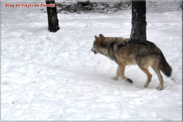 Lobo en la nieve. Parque de animales en Naturlandia, Andorra.