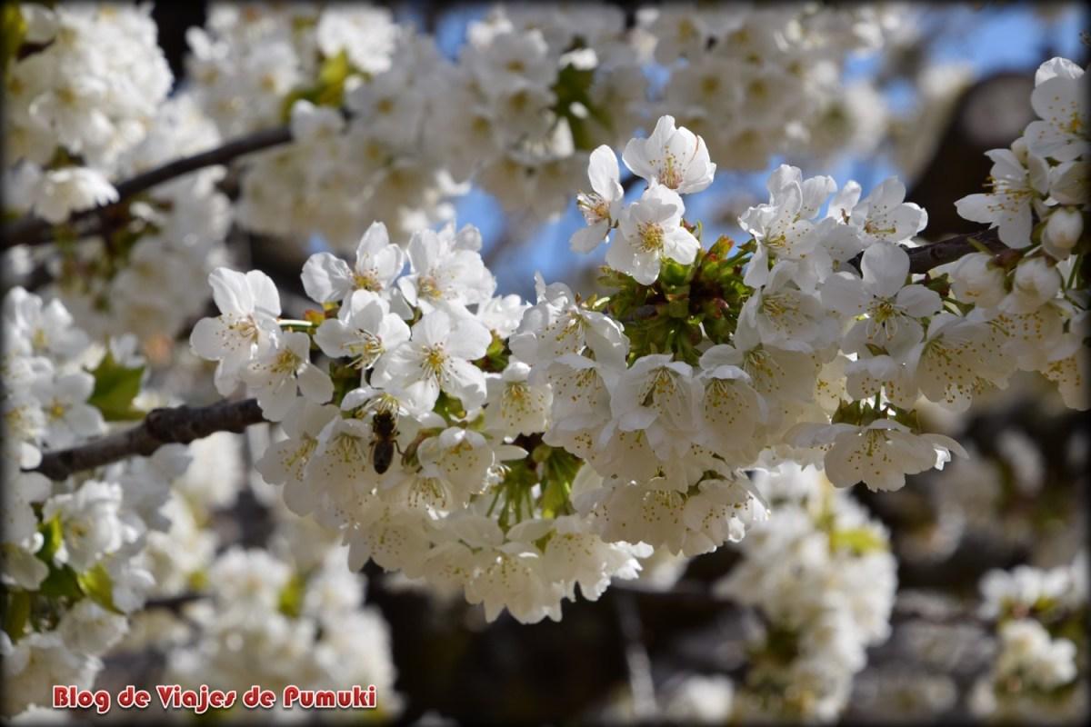 Almendros en flor en el valle del Jerte