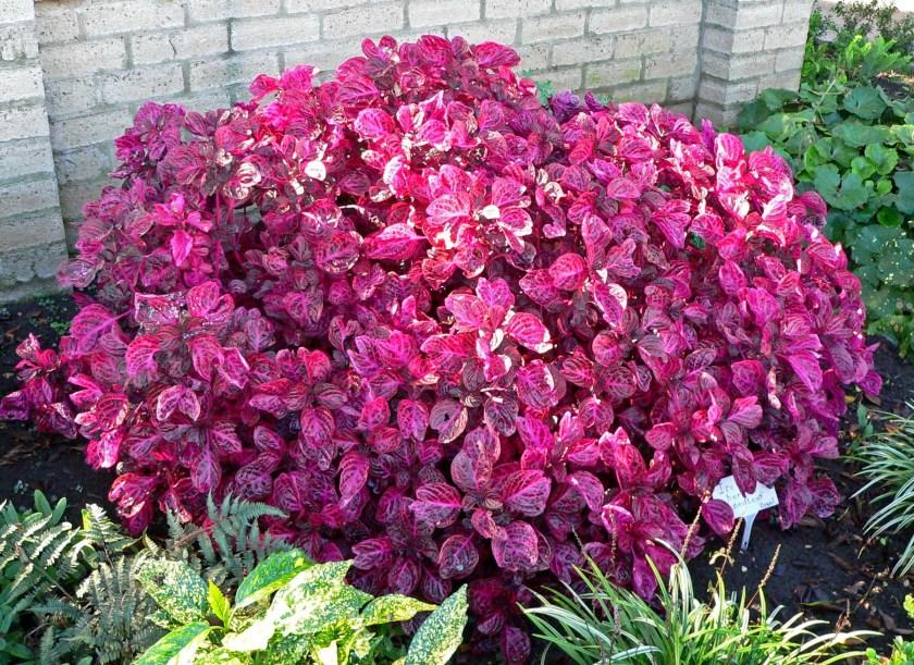Iresine, tipo de planta que será usada na residência oficial do governador Wilson Witzel