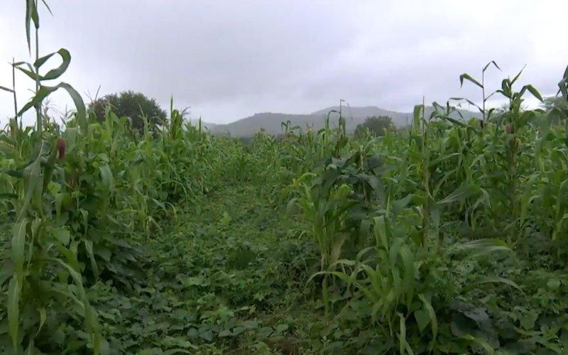 Chuvas garantem boa colheita de milho no interior de Pernambuco