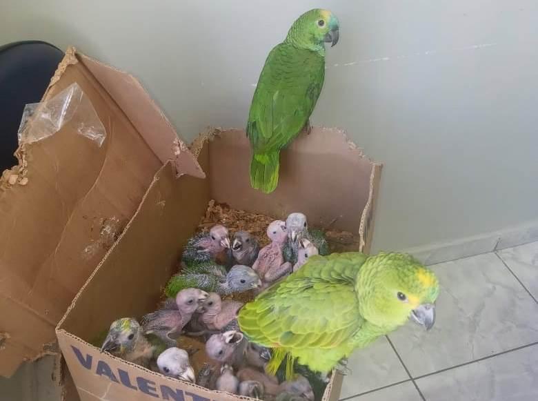 Dupla é pega contrabandeando quase 150 aves, que seriam vendidas em feira de Belo Jardim