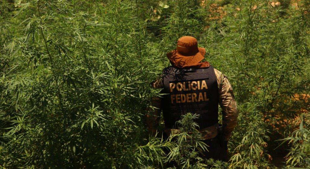 Polícia Federal erradica 164 mil pés de maconha no sertão de Pernambuco