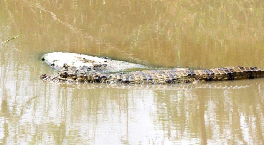 Moradores flagram jacaré no rio Capibaribe, em Toritama
