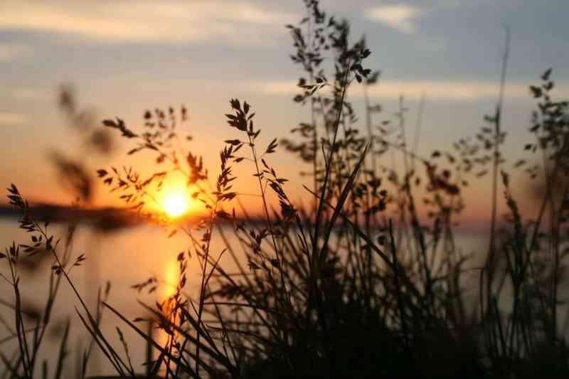 silhouette of grasses against the light of setting sun