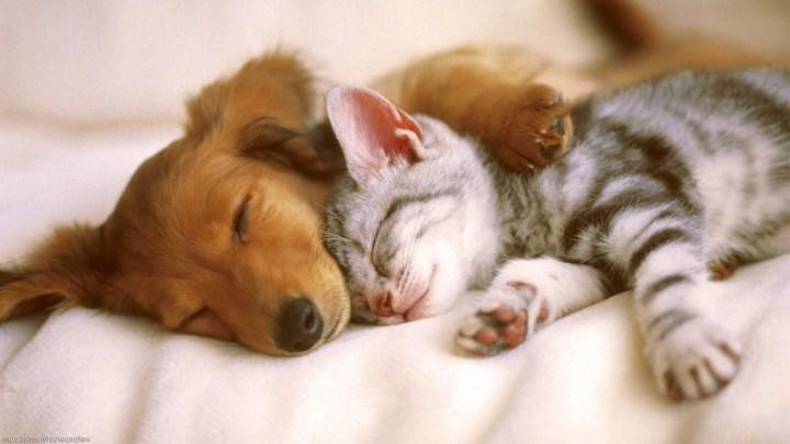 Como adaptar um cachorro com um gato?