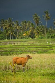 Cute brown cow grazing in green fields near rice terrace in Ubud, Bali.
