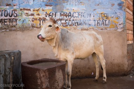 White cow liking its own nose in the streets of Jodhpur.