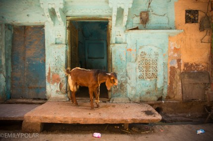 Goat tied up outside of front door in an alley of Jodhpur.