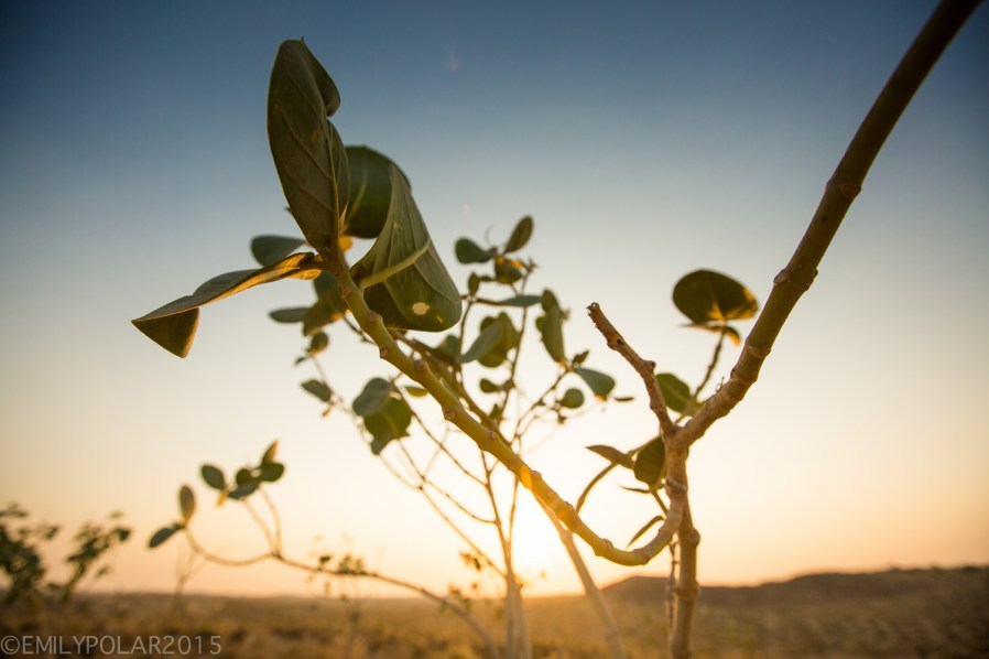 Small plant with big leaves shines at sunset in the Thar desert, India.