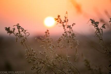 Sunrise through the shrubs over the Thar desert near Jaisalmer.