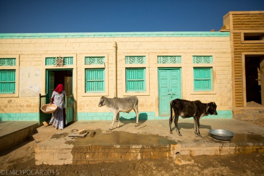 Woman coming out of her desert home to fee her baby ox on a hot sunny day in a small village near Jaisalmer.