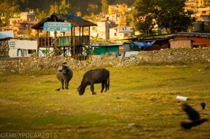 Black cows grazing on the grass around Pokhara Lake, Nepal.