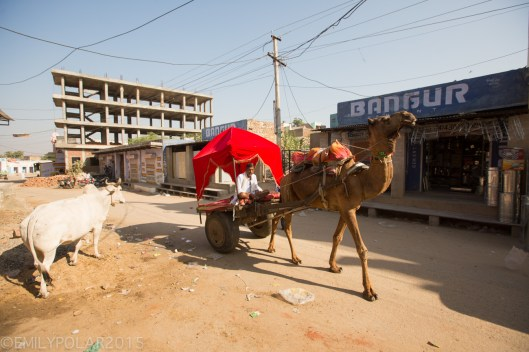 Indian man driving a red cart pulled by a camel looking to pick up tourists for a desert tour outside of Pushkar.