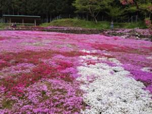 2020,芝桜,名所,愛知