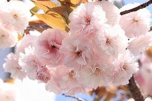 八重桜,花びら,枚数