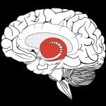 Le cerveau et son striatum