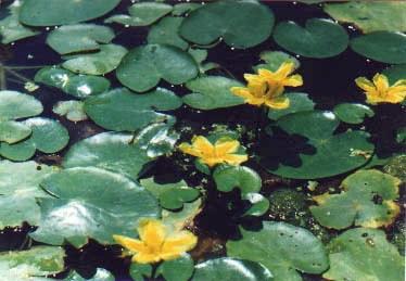 На водной глади расцветает и удивляет совершенством кувшинка белая, рядом — ее более скромный сородич кубышка желтая. В сильно заболоченных местах близ Вилково можно встретить острова и островки из переплетенных, обильно ветвящихся корневищ кувшинки. Она - растение-амфибия, в корневище кувшинки, как и в других частях этого растения, проходит система воздушных каналов. У нее разные листья: надводные и подводные. У нее свой образ жизни, но самое поразительное, конечно, — цветок.