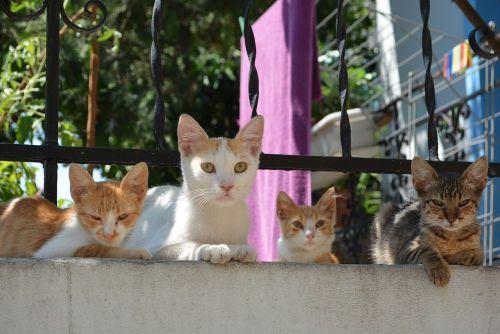 греческие коты