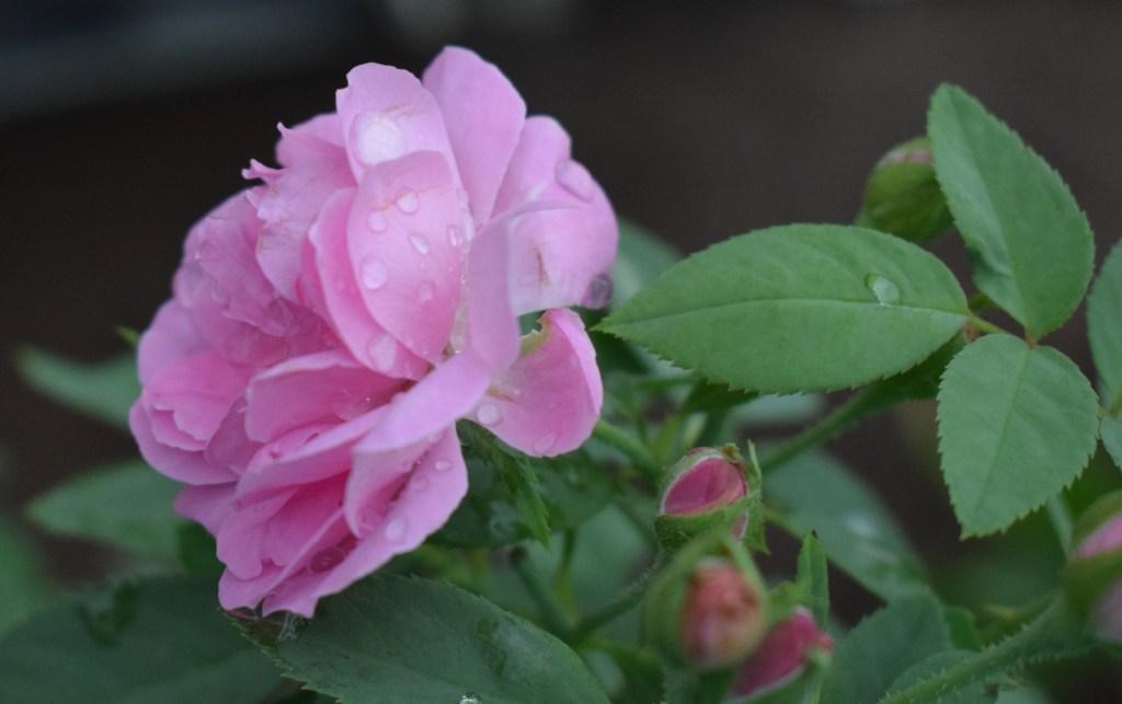 Normal Pink rose Convert Nikon lens into macro photography lens.